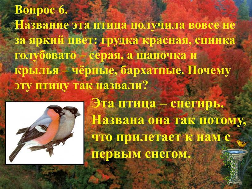 Вопрос 6. Название эта птица получила вовсе не за яркий цвет: грудка красная, спинка голубовато – серая, а шапочка и крылья – чёрные, бархатные