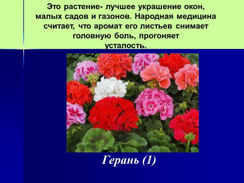 Герань (1) Это растение- лучшее украшение окон, малых садов и газонов