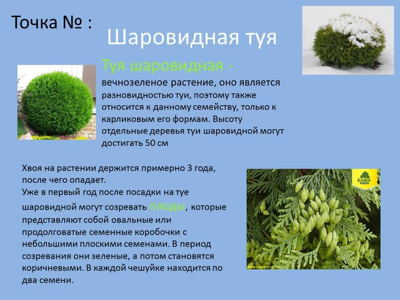 Шаровидная туя Туя шаровидная - вечнозеленое растение, оно является разновидностью туи, поэтому также относится к данному семейству, только к карликовым его формам