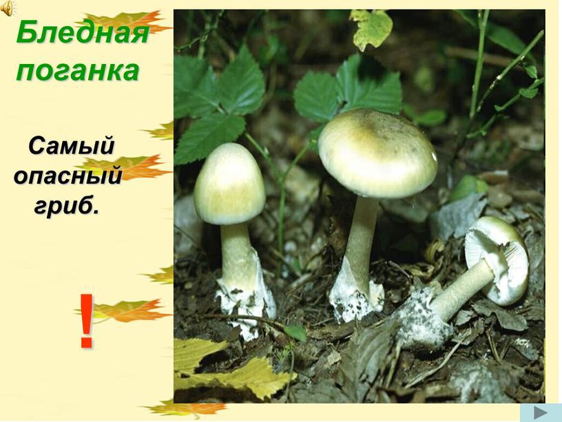Бледная поганка Самый опасный гриб