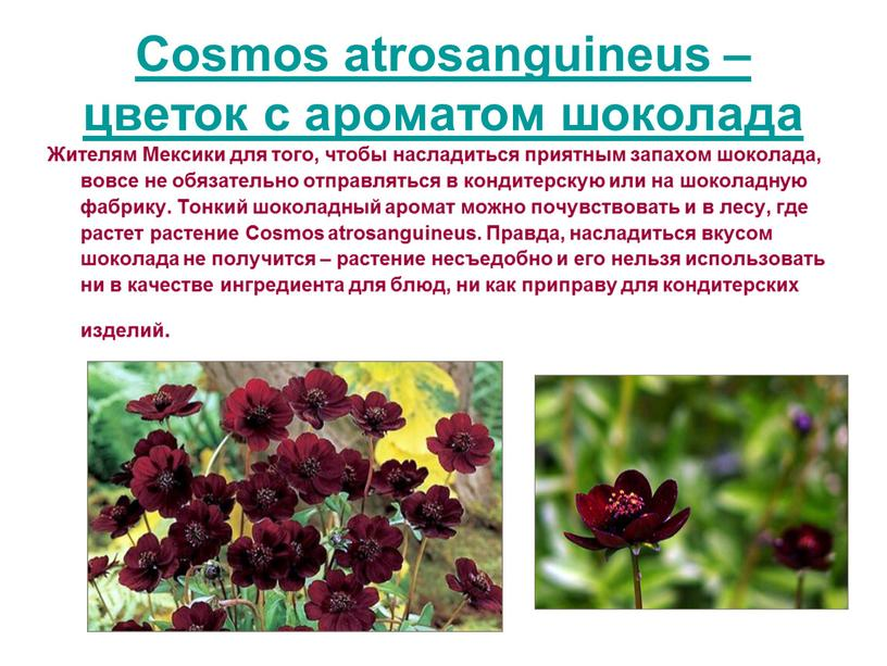 Cosmos atrosanguineus – цветок с ароматом шоколада
