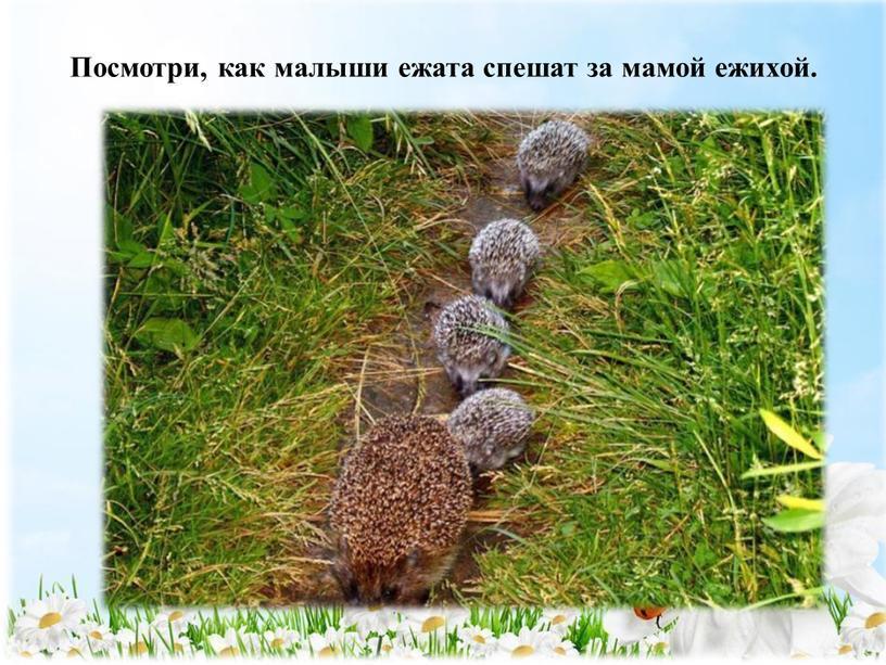 Посмотри, как малыши ежата спешат за мамой ежихой