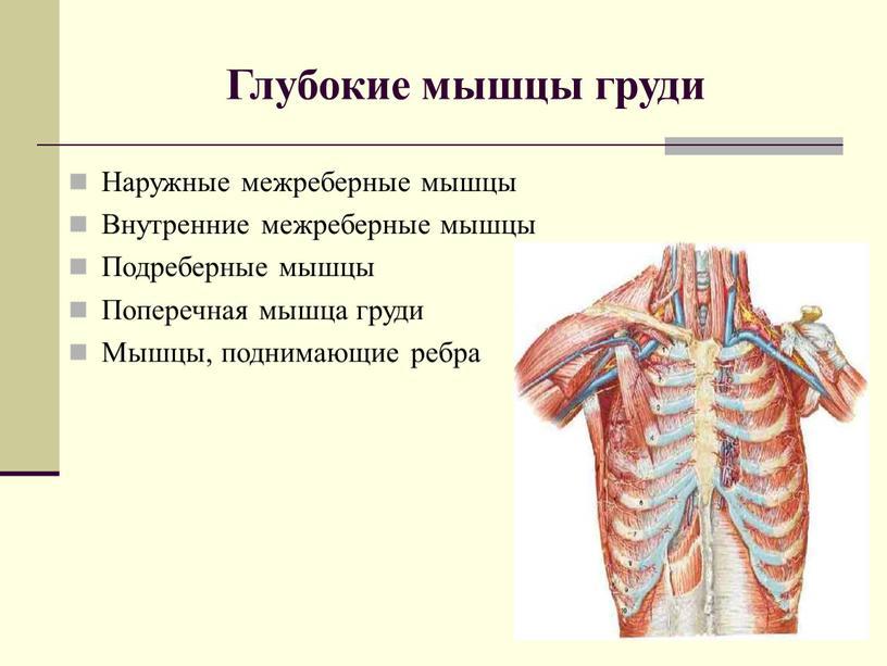 Глубокие мышцы груди Наружные межреберные мышцы