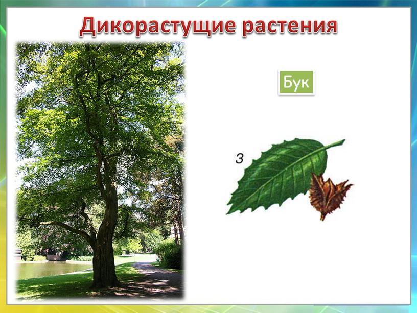 Дикорастущие растения Бук