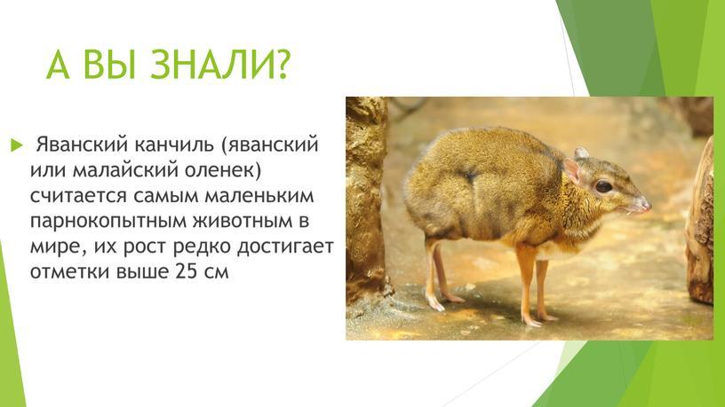 А ВЫ ЗНАЛИ? Яванский канчиль (яванский или малайский оленек) считается самым маленьким парнокопытным животным в мире, их рост редко достигает отметки выше 25 см