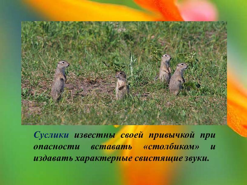 Суслики известны своей привычкой при опасности вставать «столбиком» и издавать характерные свистящие звуки