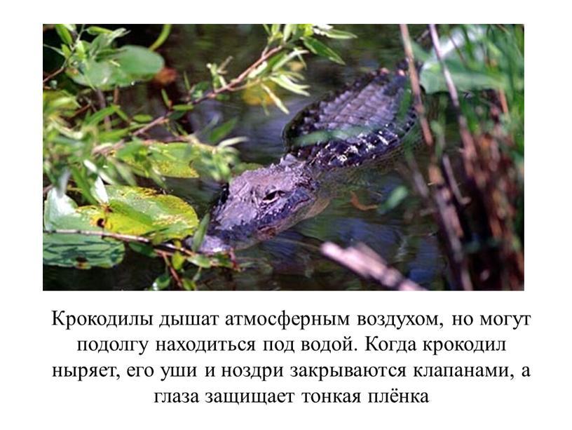 Крокодилы дышат атмосферным воздухом, но могут подолгу находиться под водой