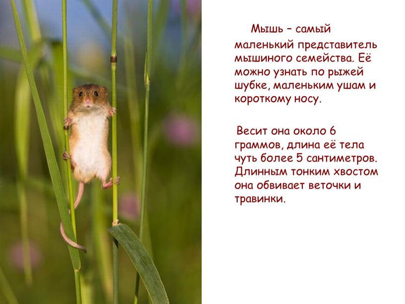 Мышь – самый маленький представитель мышиного семейства