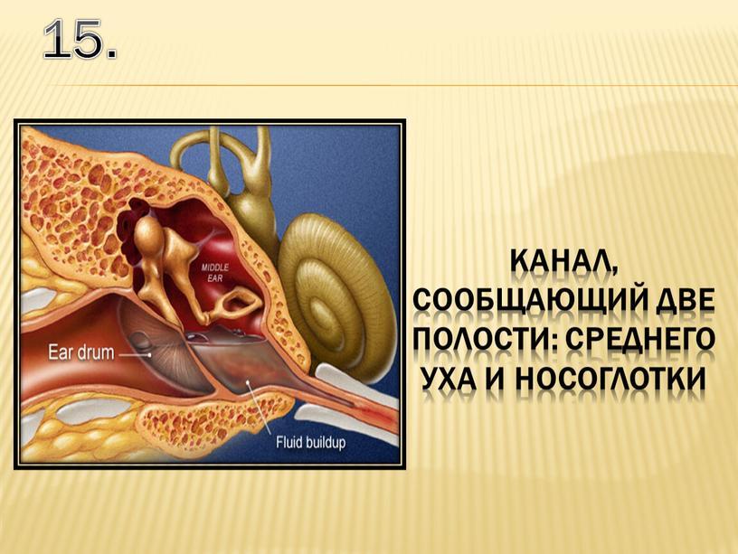 15. канал, сообщающий две полости: среднего уха и носоглотки