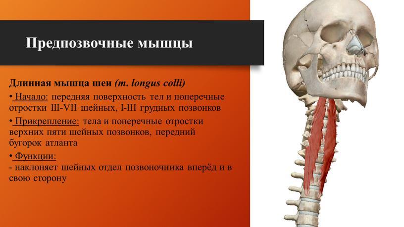 Предпозвочные мышцы Длинная мышца шеи (m