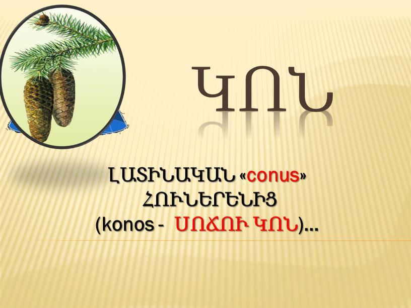 ԿՈՆ ԼԱՏԻՆԱԿԱՆ «conus» ՀՈՒՆԵՐԵՆԻՑ (konos - ՍՈՃՈՒ ԿՈՆ)…
