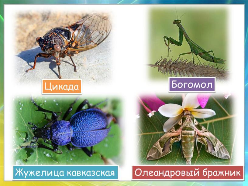 Цикада Олеандровый бражник Жужелица кавказская