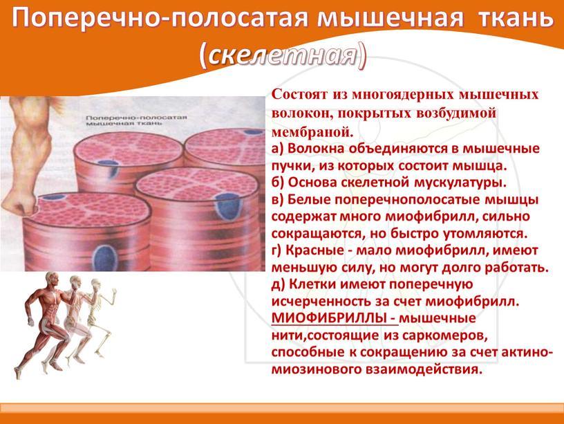 Поперечно-полосатая мышечная ткань ( скелетная )