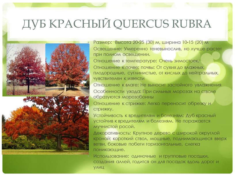 Дуб красный Quercus rubra Размер:
