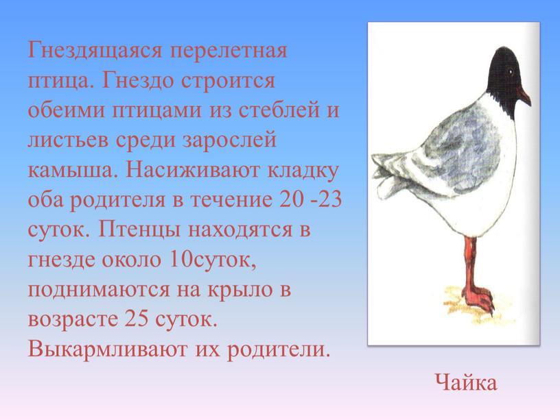 Гнездящаяся перелетная птица. Гнездо строится обеими птицами из стеблей и листьев среди зарослей камыша