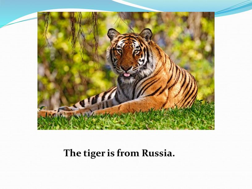 The tiger is from Russia.