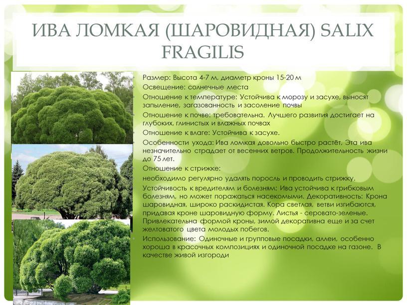 Ива ломкая (шаровидная) Salix fragilis
