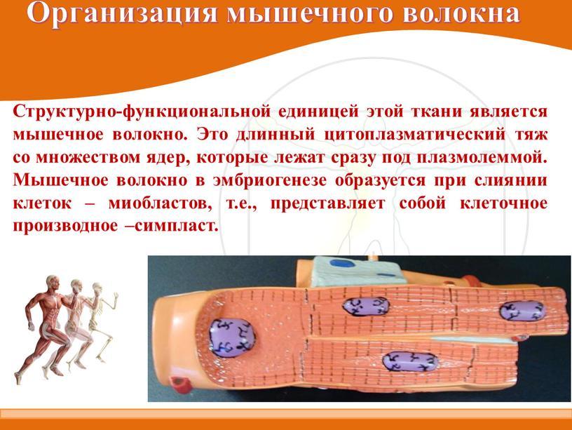 Организация мышечного волокна Структурно-функциональной единицей этой ткани является мышечное волокно