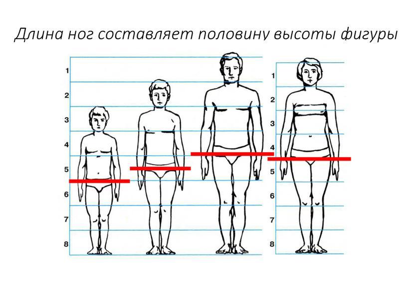 Длина ног составляет половину высоты фигуры