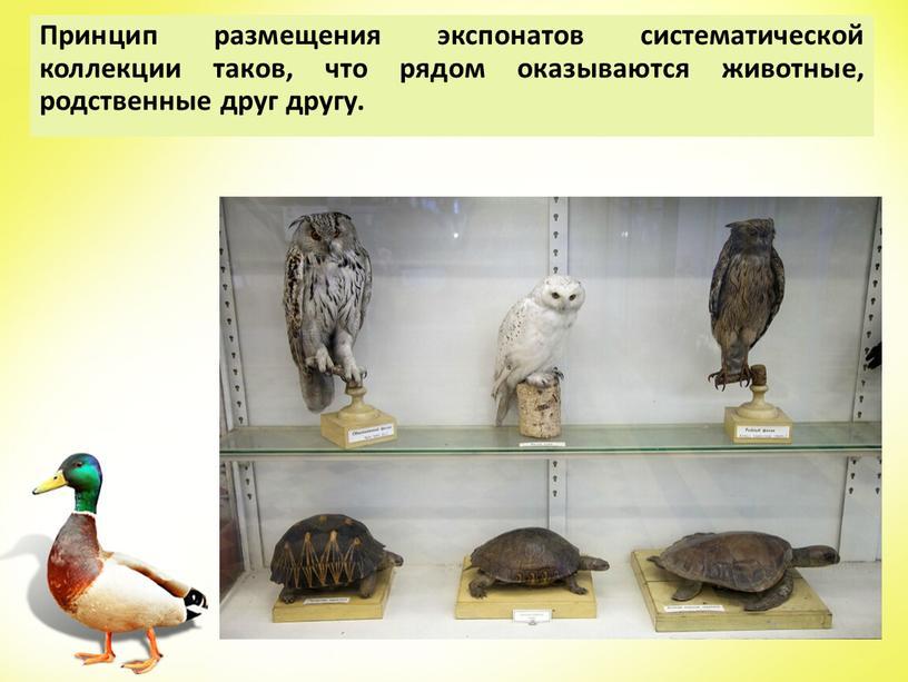 Принцип размещения экспонатов систематической коллекции таков, что рядом оказываются животные, родственные друг другу