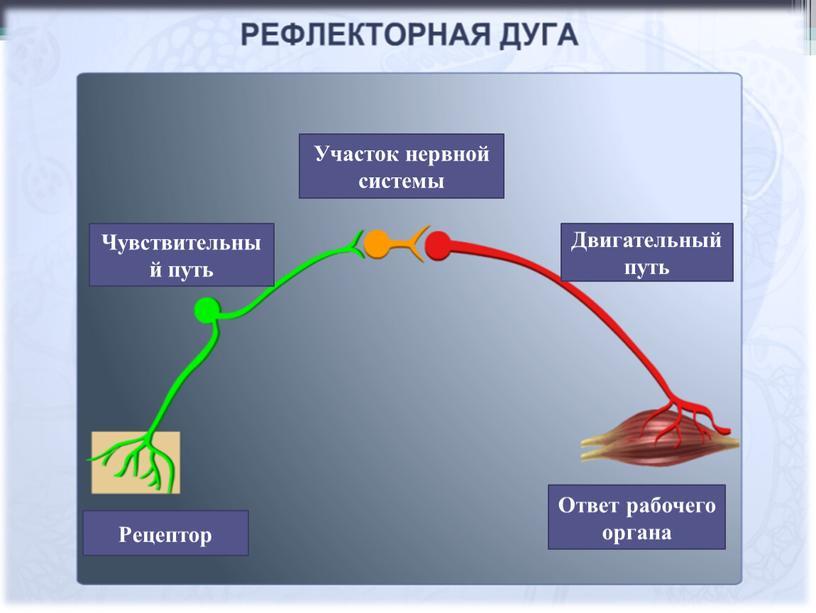 Рецептор Чувствительный путь Участок нервной системы
