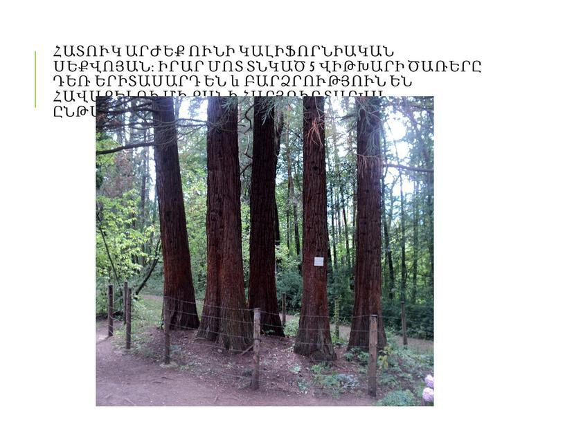 Հատուկ արժեք ունի կալիֆորնիական սեքվոյան։ Իրար մոտ տնկած 5 վիթխարի ծառերը դեռ երիտասարդ են և բարձրություն են հավաքելու մի քանի հարյուր տարվա ընթացքում։