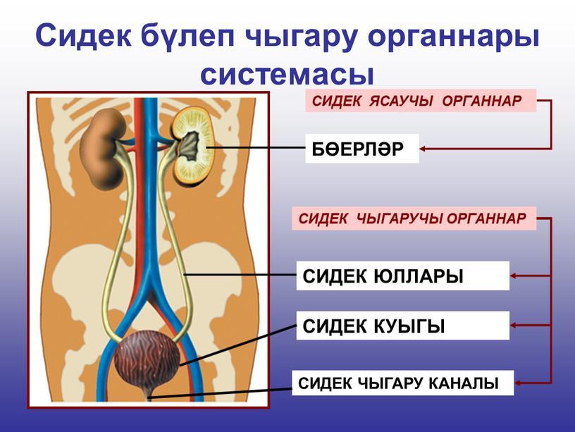 Сидек бүлеп чыгару органнары системасы