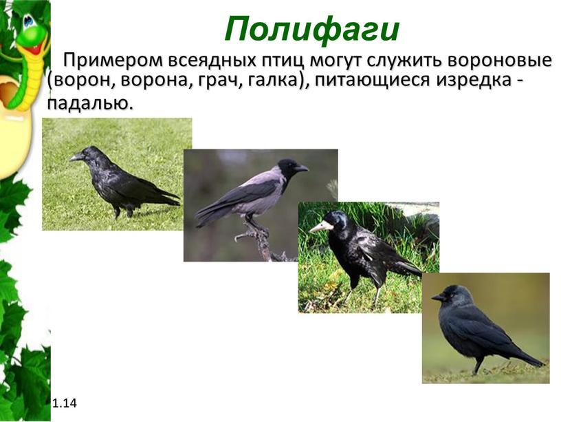 Полифаги Примером всеядных птиц могут служить вороновые (ворон, ворона, грач, галка), питающиеся изредка - падалью