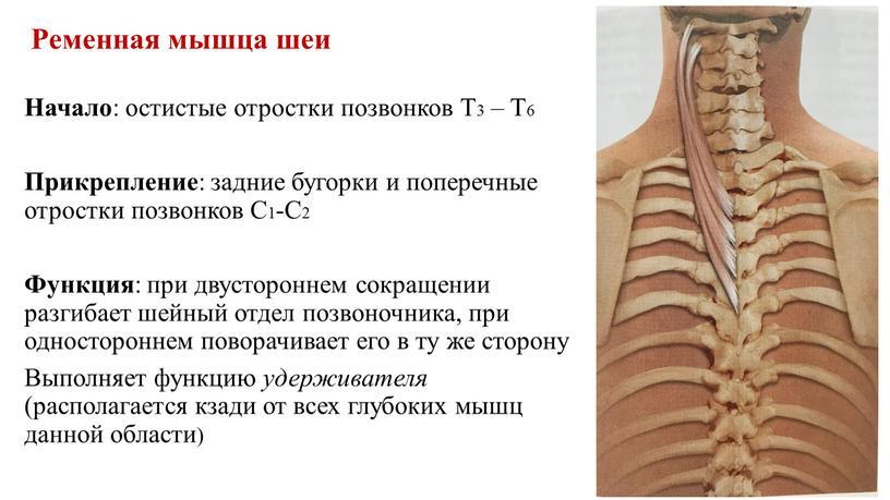 Ременная мышца шеи Начало : остистые отростки позвонков
