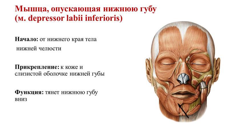 Мышца, опускающая нижнюю губу (м
