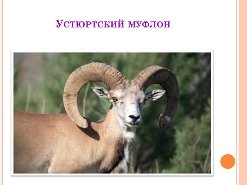 Устюртский муфлон