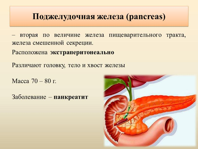 Поджелудочная железа (pancreas) – вторая по величине железа пищеварительного тракта, железа смешенной секреции