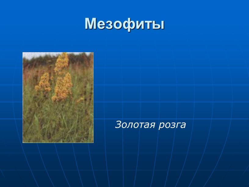 Мезофиты Золотая розга
