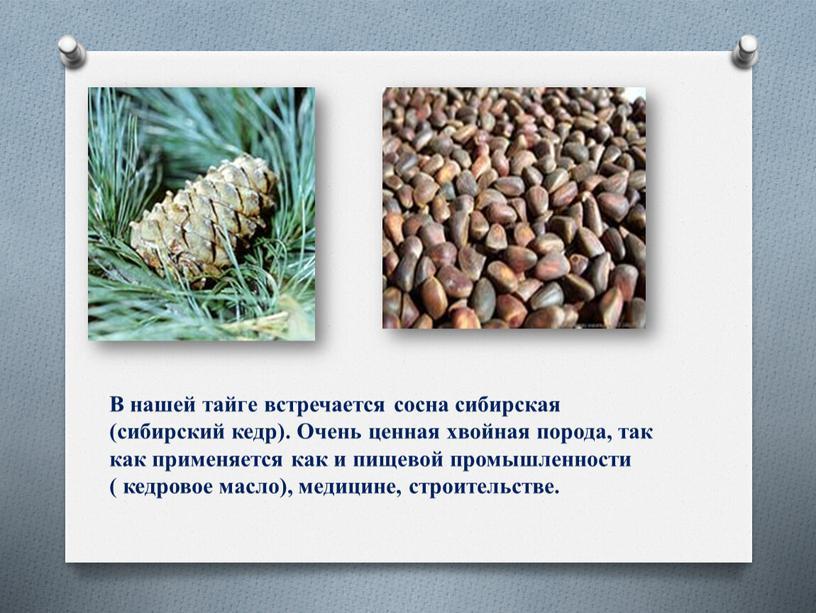 В нашей тайге встречается сосна сибирская (сибирский кедр)