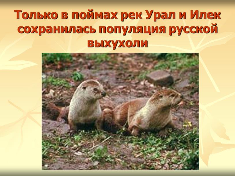 Только в поймах рек Урал и Илек сохранилась популяция русской выхухоли