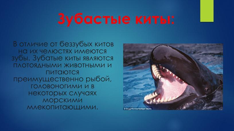 Зубастые киты: В отличие от беззубых китов на их челюстях имеются зубы