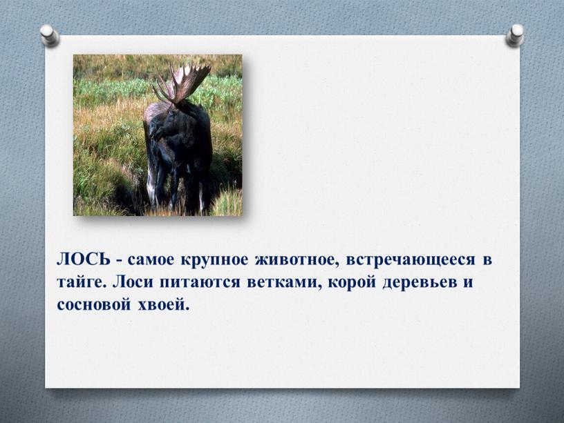 ЛОСЬ - самое крупное животное, встречающееся в тайге