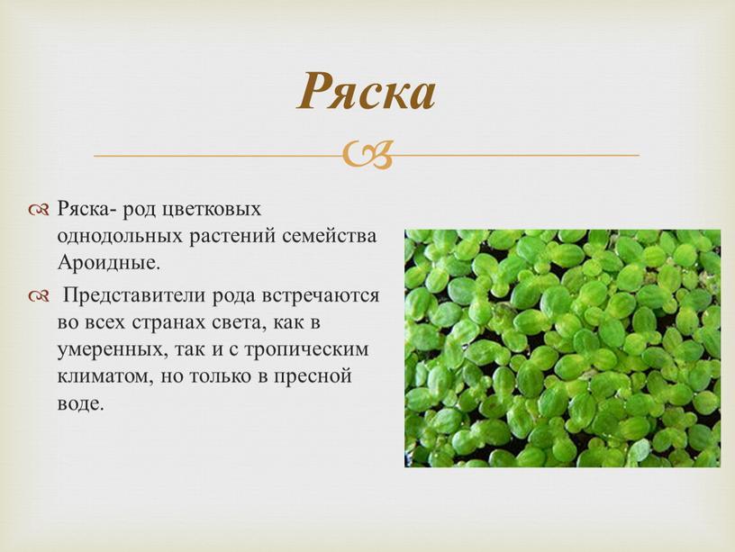 Ряска- род цветковых однодольных растений семейства