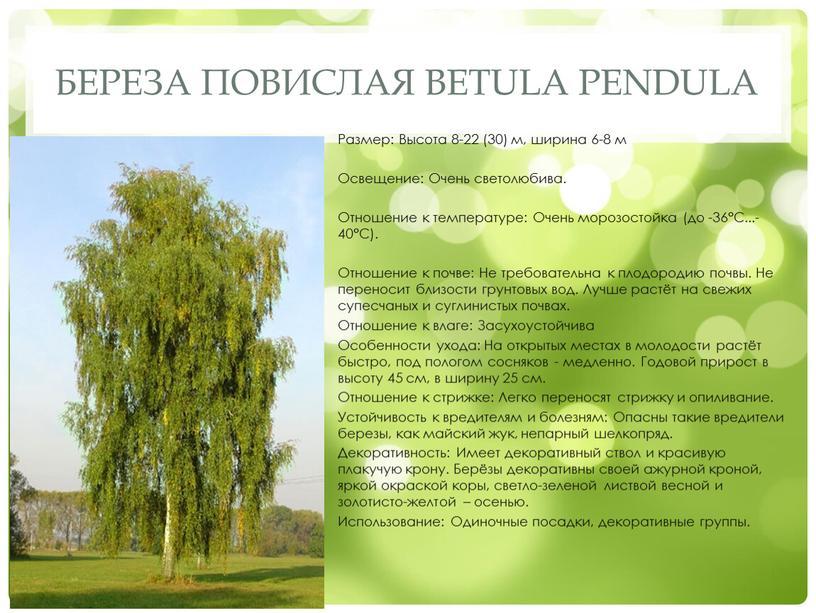 Береза повислая Betula pendula