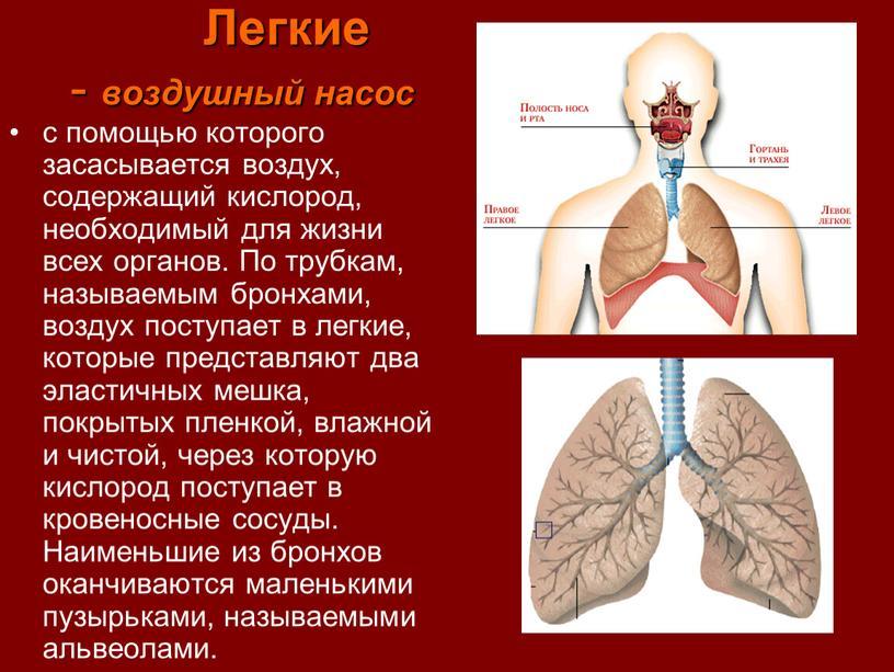 Легкие - воздушный насос с помощью которого засасывается воздух, содержащий кислород, необходимый для жизни всех органов