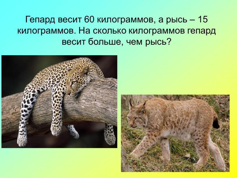 Гепард весит 60 килограммов, а рысь – 15 килограммов