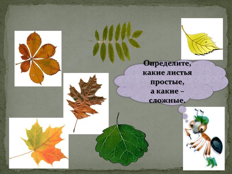Определите, какие листья простые, а какие – сложные