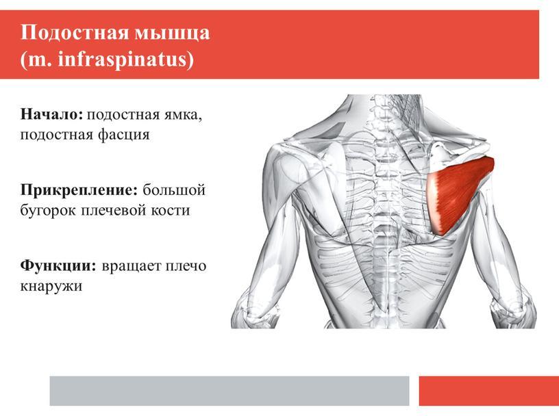 Подостная мышца (m. infraspinatus)