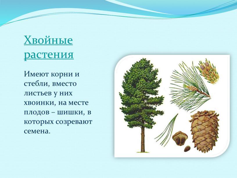 Хвойные растения Имеют корни и стебли, вместо листьев у них хвоинки, на месте плодов – шишки, в которых созревают семена