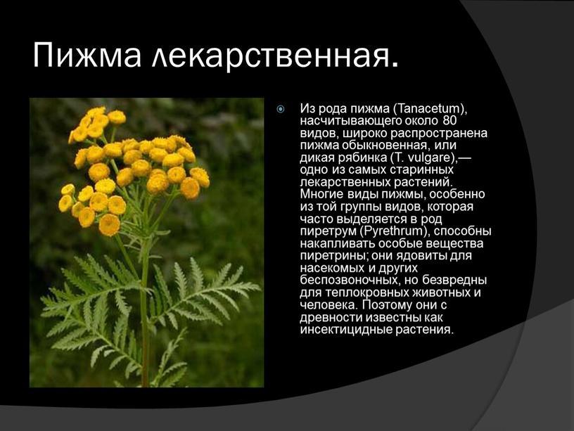 Пижма лекарственная. Из рода пижма (Tanacetum), насчитывающего около 80 видов, широко распространена пижма обыкновенная, или дикая рябинка (Т