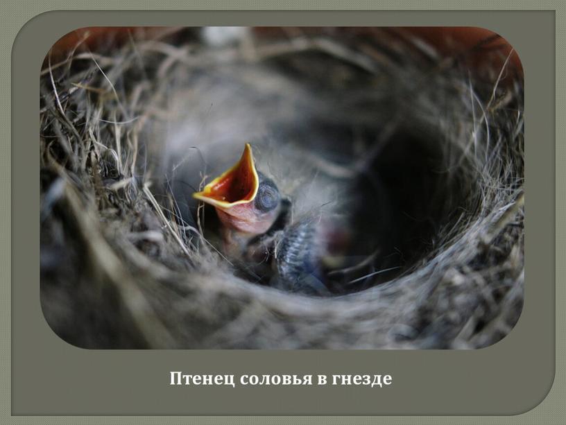Птенец соловья в гнезде