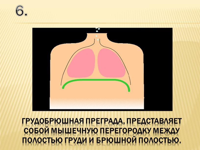 6. грудобрюшная преграда, представляет собой мышечную перегородку между полостью груди и брюшной полостью.