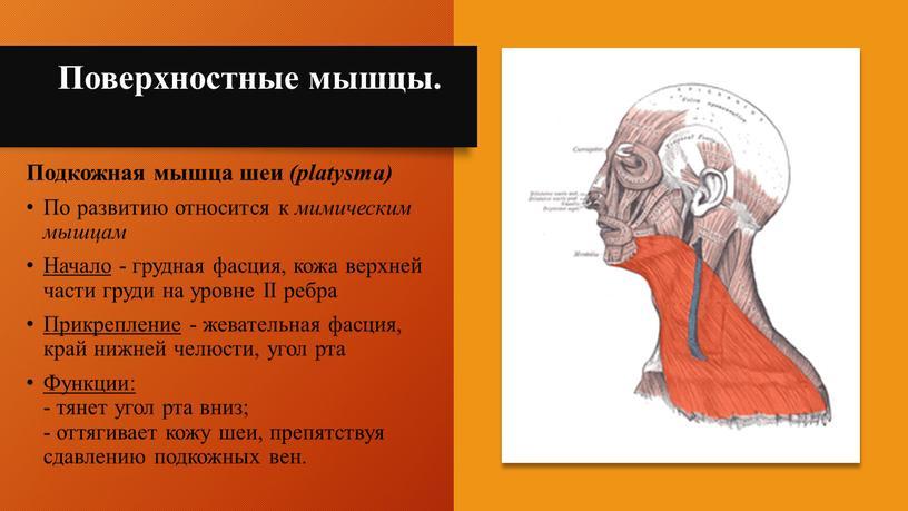Поверхностные мышцы. Подкожная мышца шеи (platysma)