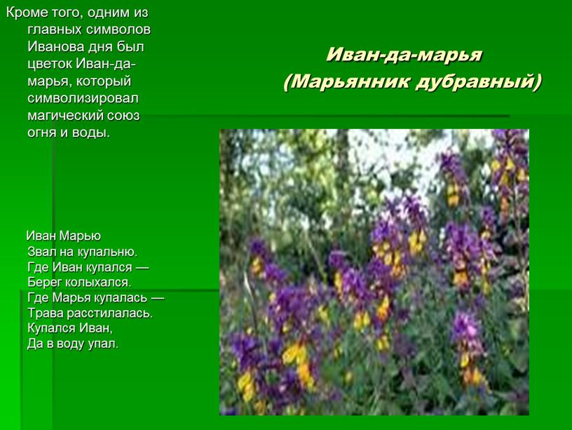 Иван-да-марья (Марьянник дубравный)