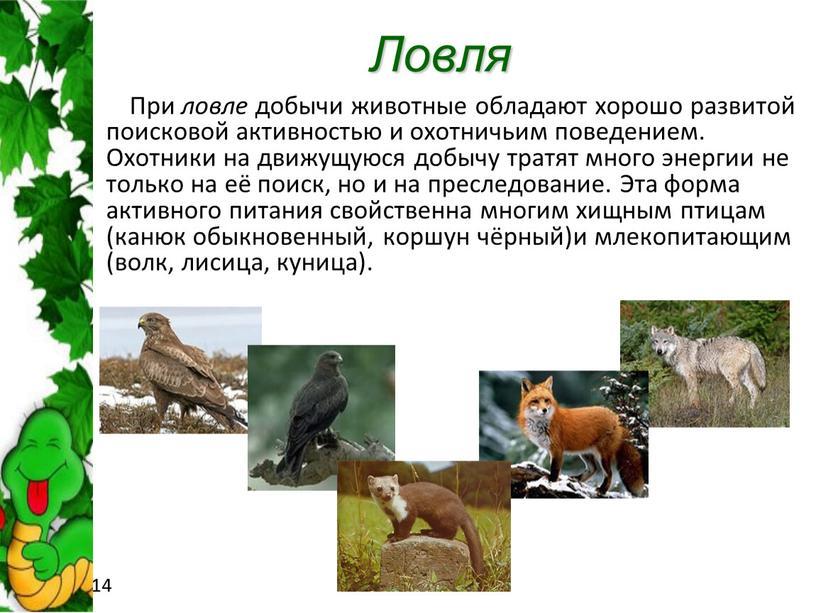 Ловля При ловле добычи животные обладают хорошо развитой поисковой активностью и охотничьим поведением